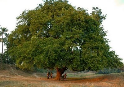 The Tamarind Tree | A Better Word